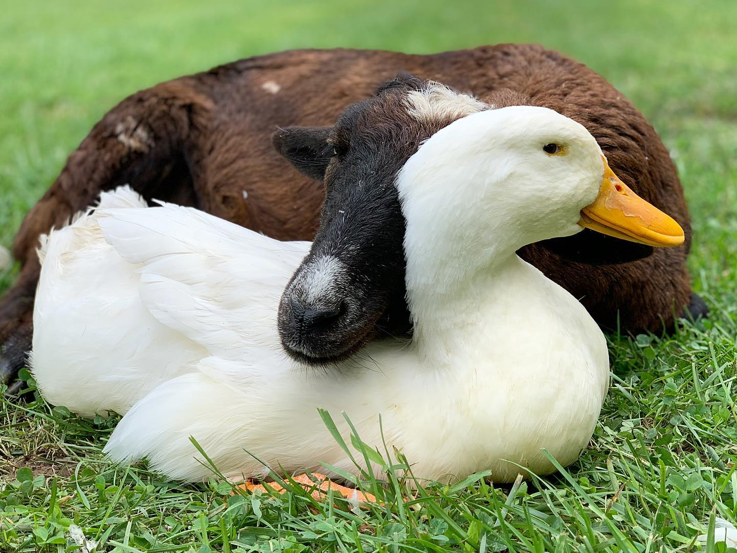 Goat and duck bffs