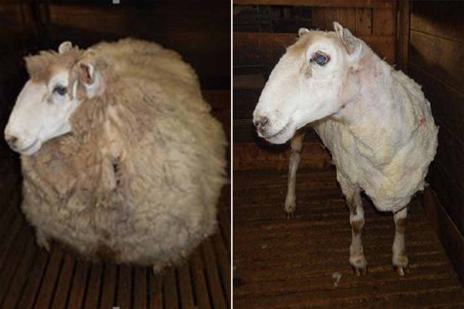 Ewenice, RSPCA Victoria rescues stray sheep with 20kg fleece