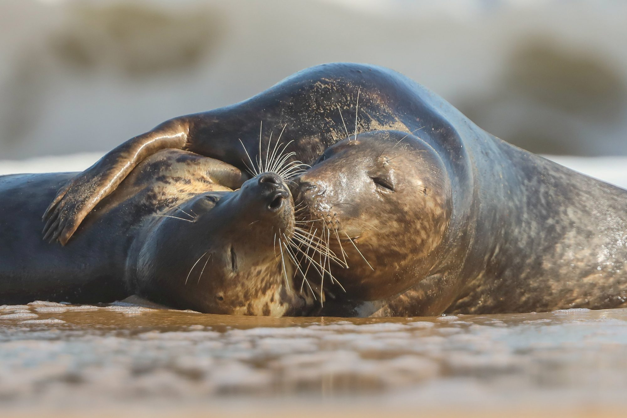Two loved up seals kiss and cuddle on Horsey Beach, in Norfolk