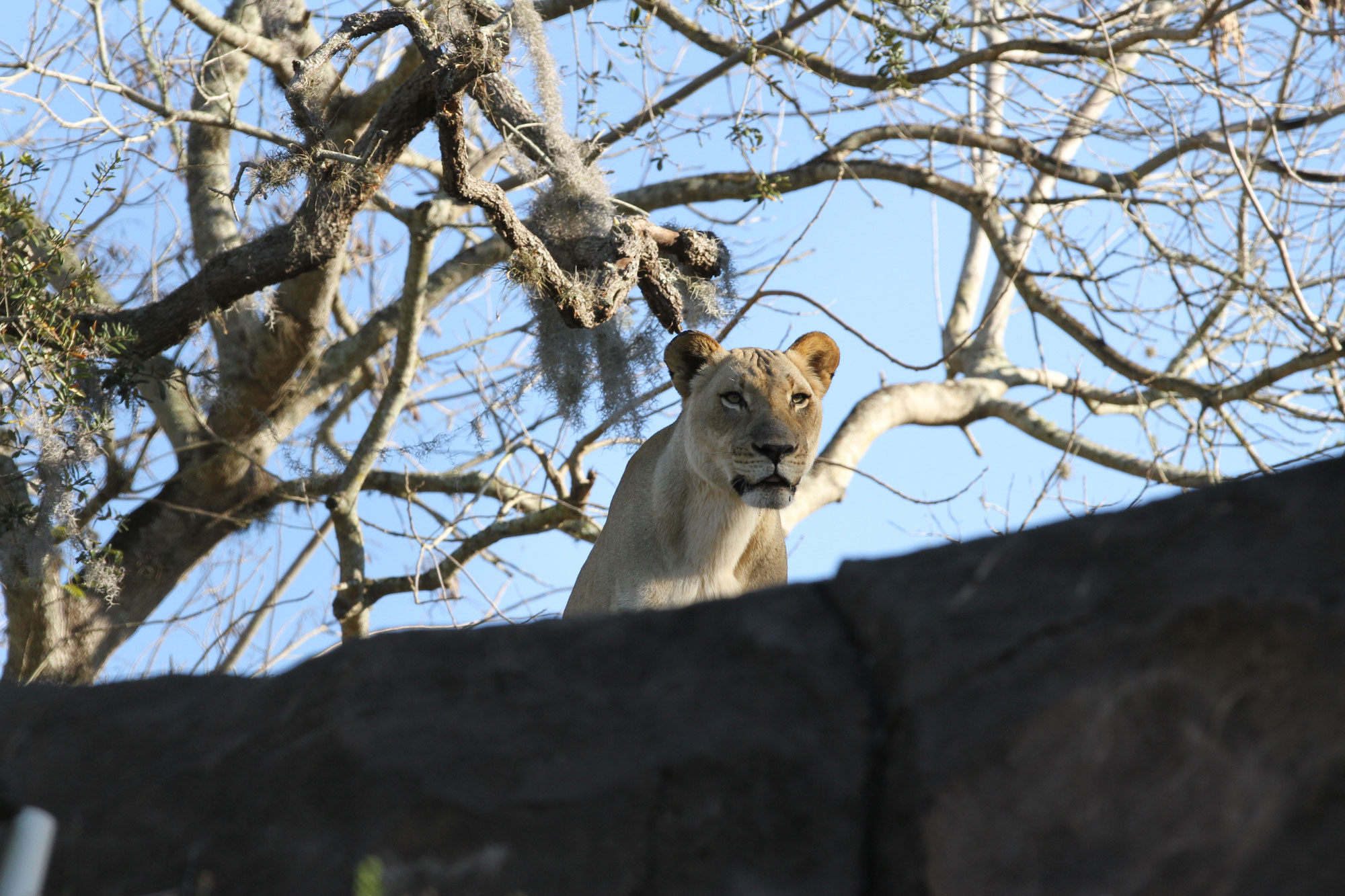 Lioness in Animal Kingdom