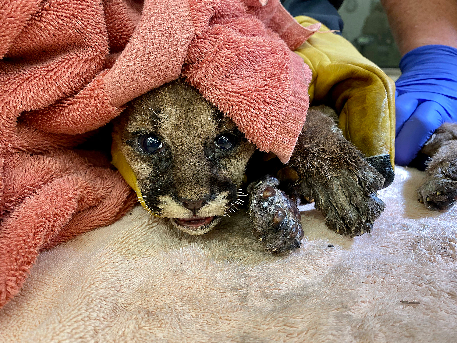 mountain lion cub rescued from fire