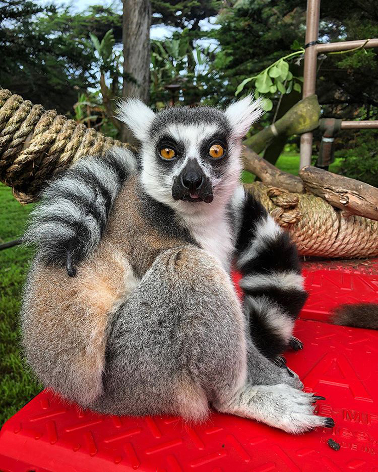 Missing ring-tailed lemur