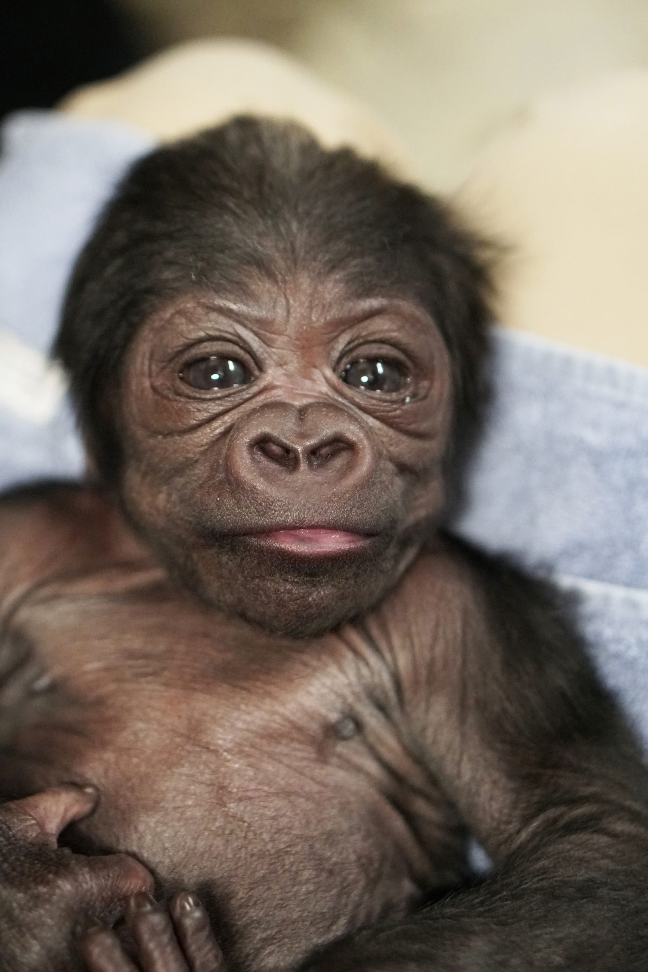 baby gorilla born via c-section