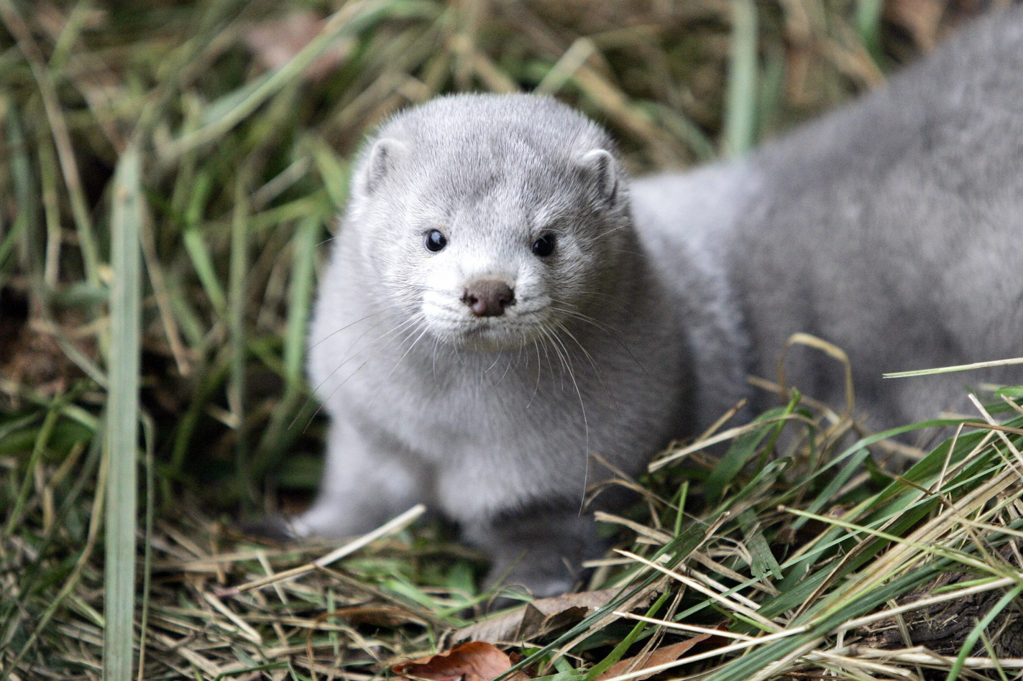 Denmark to Cull Entire Mink Population as COVID Mutation Spreads to Humans  | PEOPLE.com