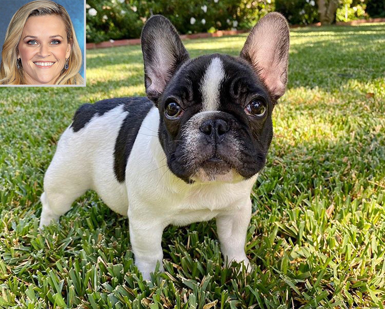 Reese Witherspoon puppy