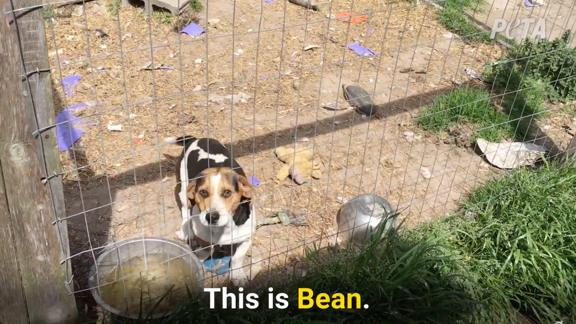 Bean the beagle rescued