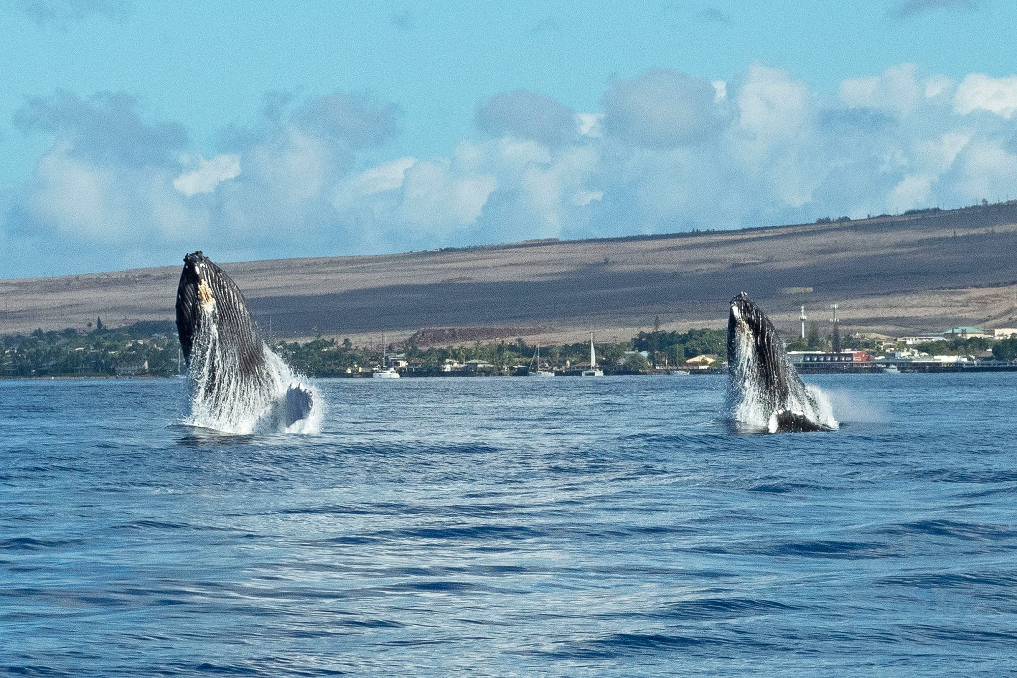 SYNCHRONISED WHALE BREACH