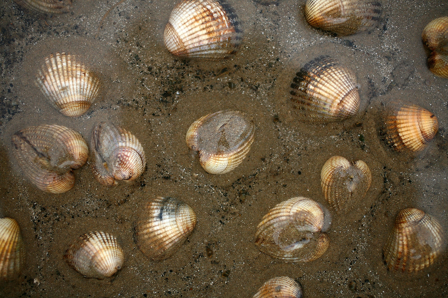 cockles in sand