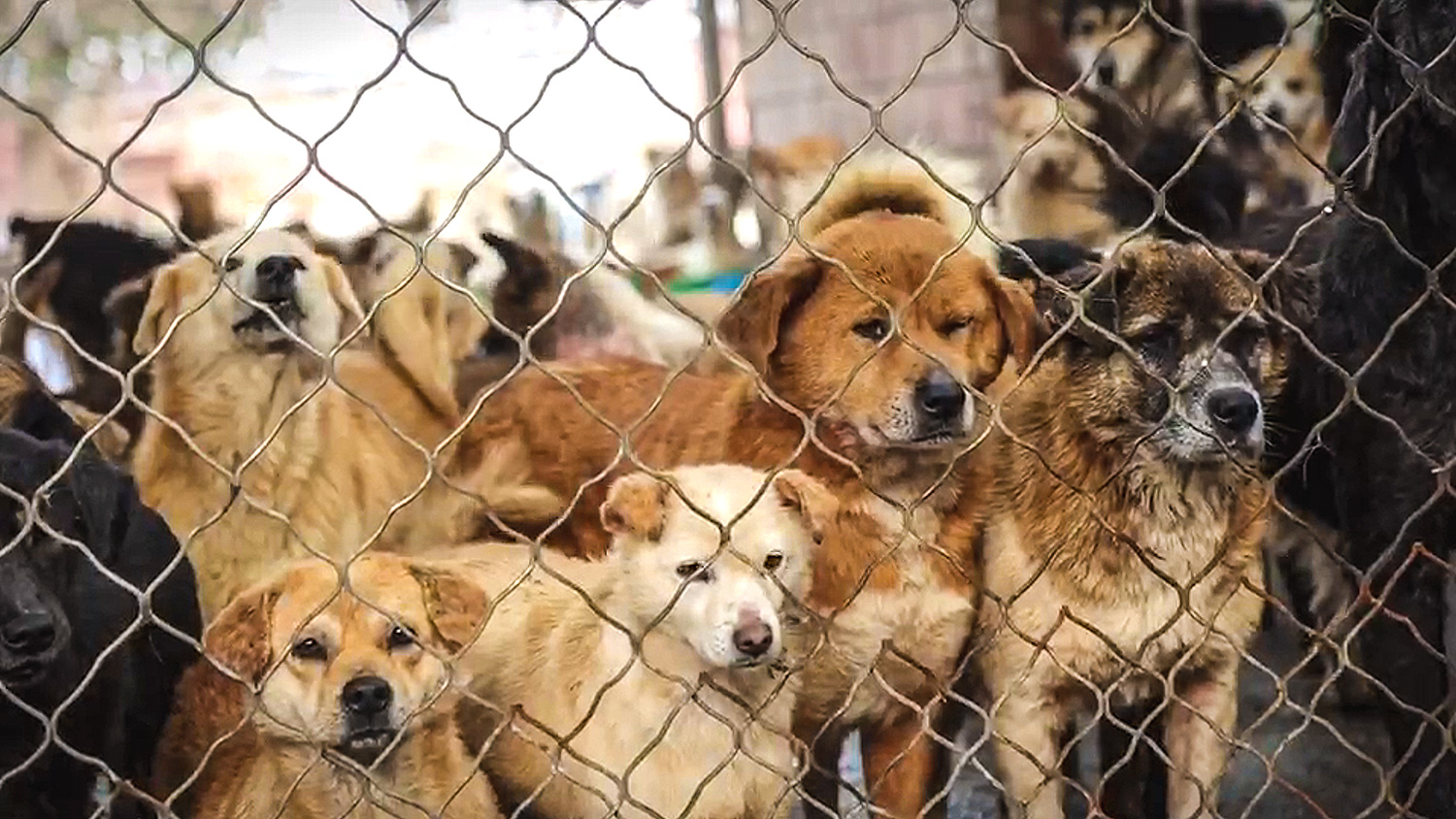China dog meat rescue