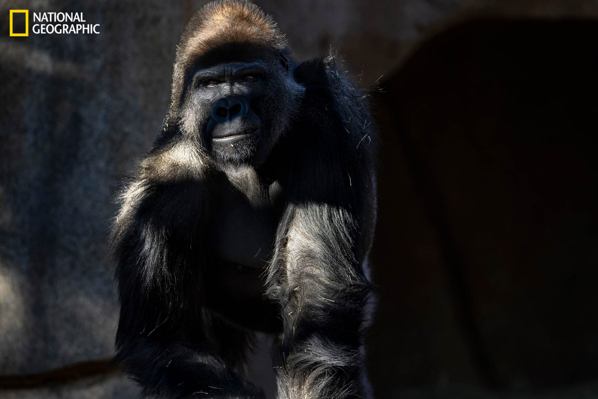 Frank, a 12-year-old gorilla at the San Diego Zoo Safari Park, is pictured after recovering from the coronavirus. After his troop of eight western lowland gorillas got sick in January, zoo staff received experimental COVID-19 vaccines from veterinary pharmaceutical company Zoetis to give to other great apes in their care, including bonobos and orangutans.