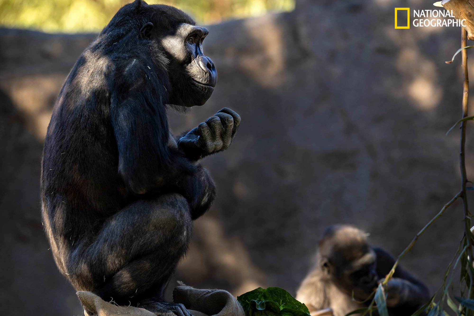 Healthy again and back on public display, two members of the gorilla troop relax in their habitat. Lamberski's team plans to give them the experimental vaccine later this spring.