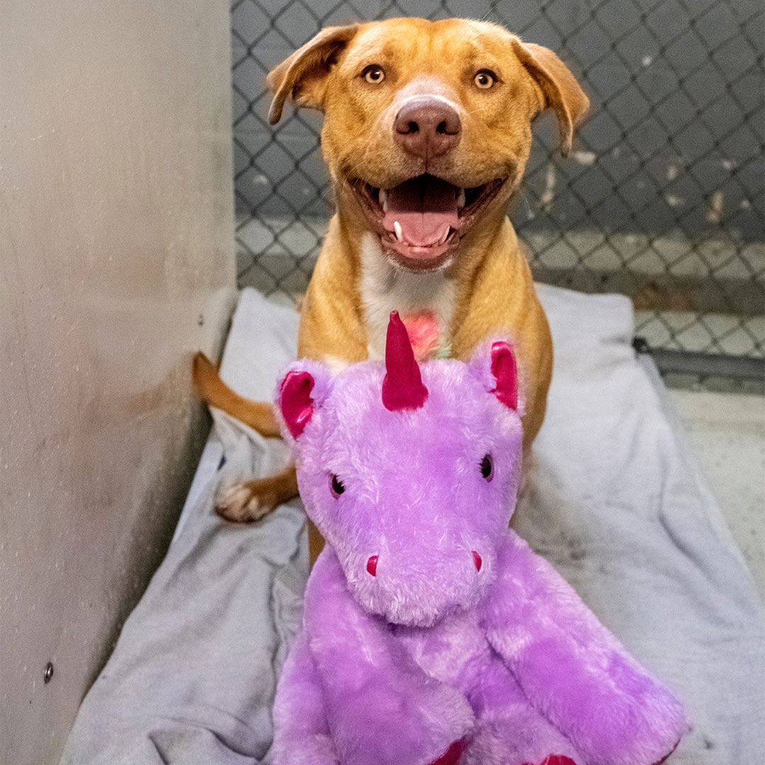 Stray Dog Gets Unicorn Plush He Kept Trying to Steal