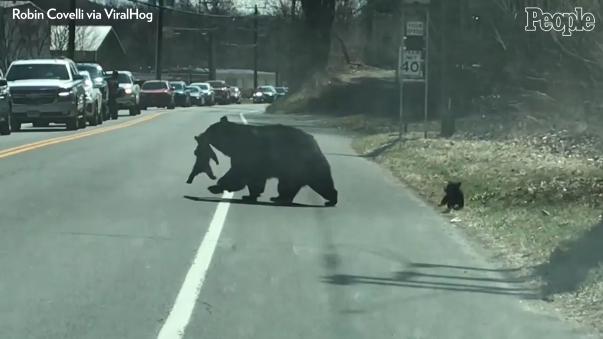 bear mom crossing street with cubs
