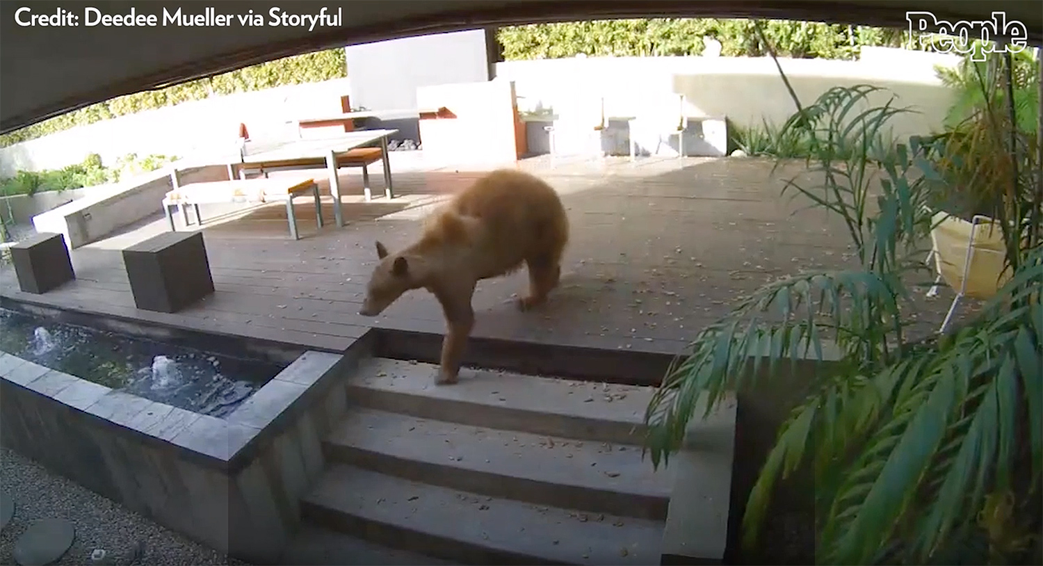 dogs chase bear