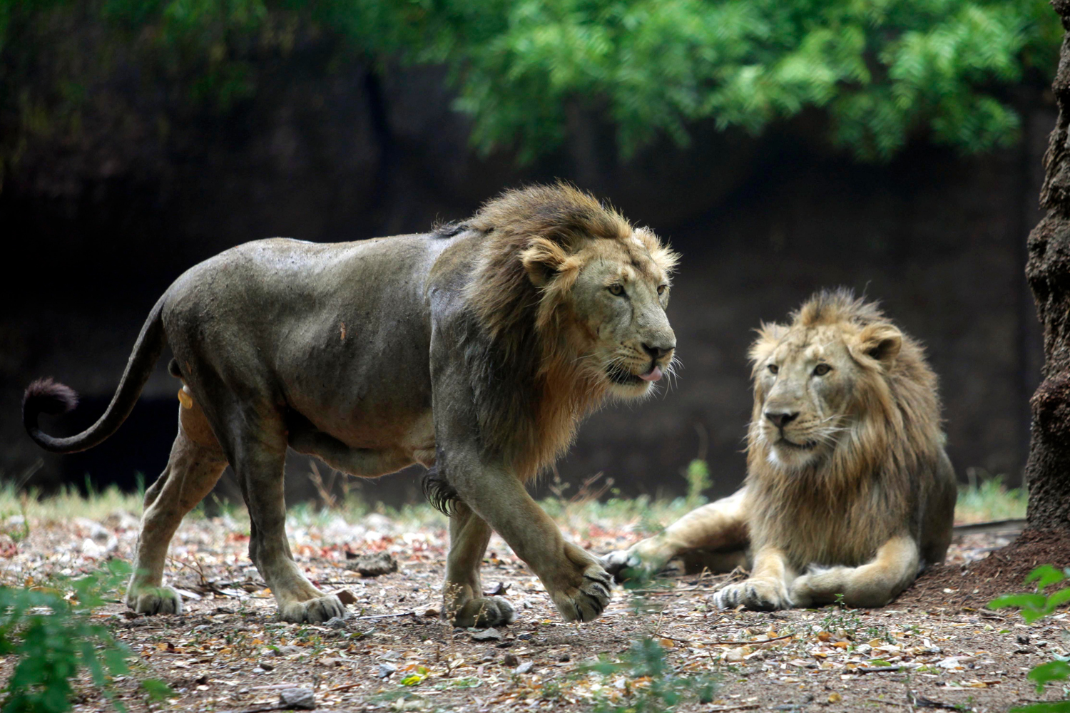 Lions Ram and Laxman rest in an enclosure at the Nehru Zoological Park in Hyderabad, India