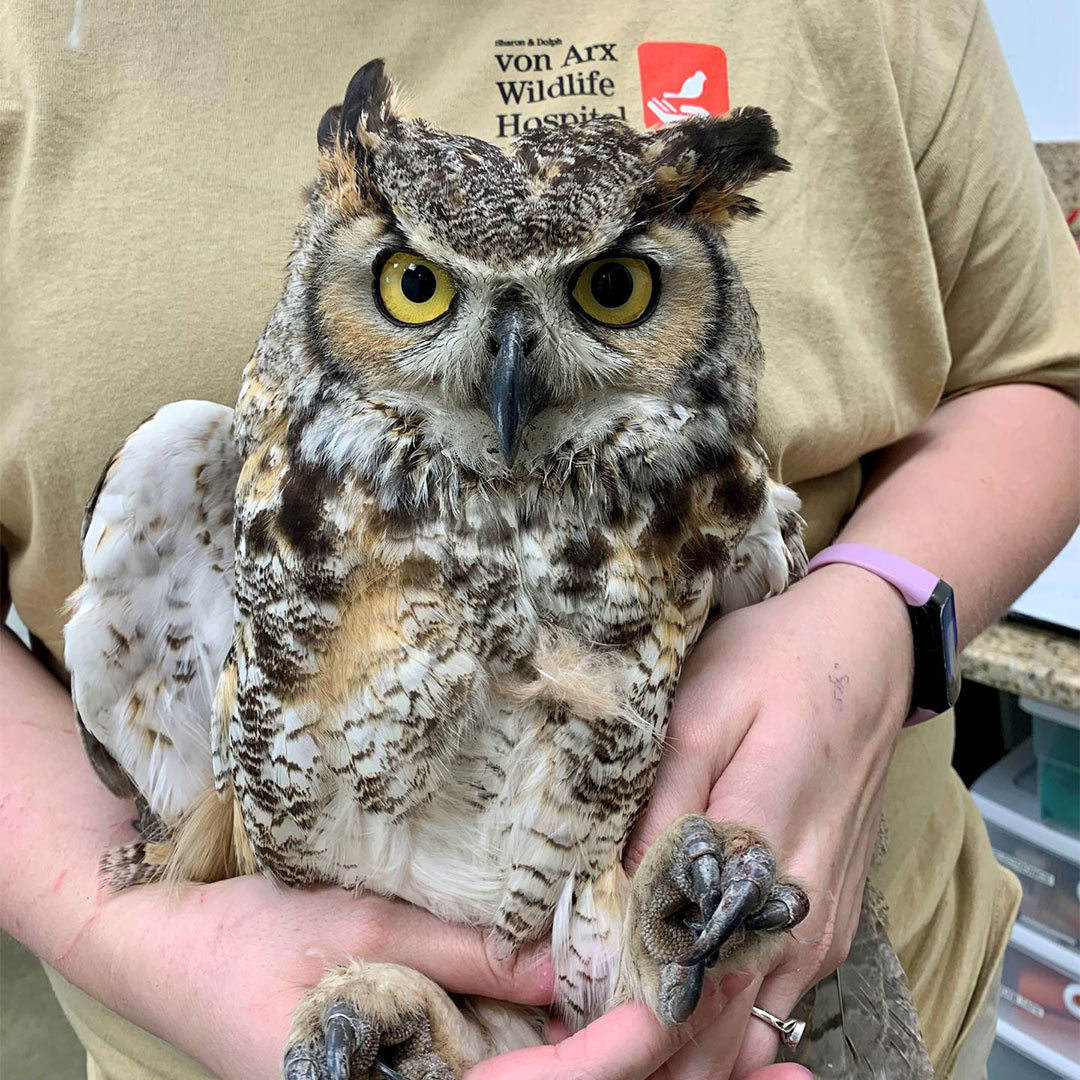 Owl Recovering After Traveling Hundreds of Miles Trapped in a Truck's Grille