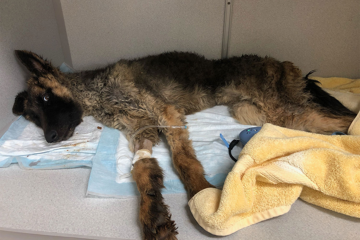 Emaciated Dog in Trash Recovering
