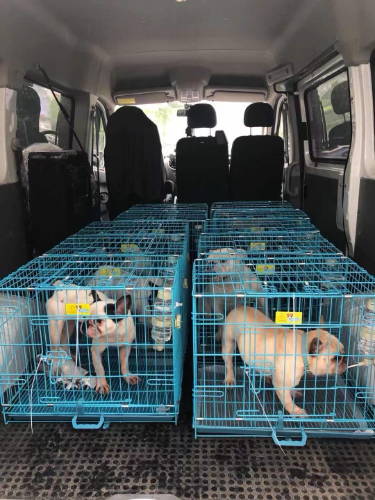 French Bulldogs being saved from the meat markets in Asia