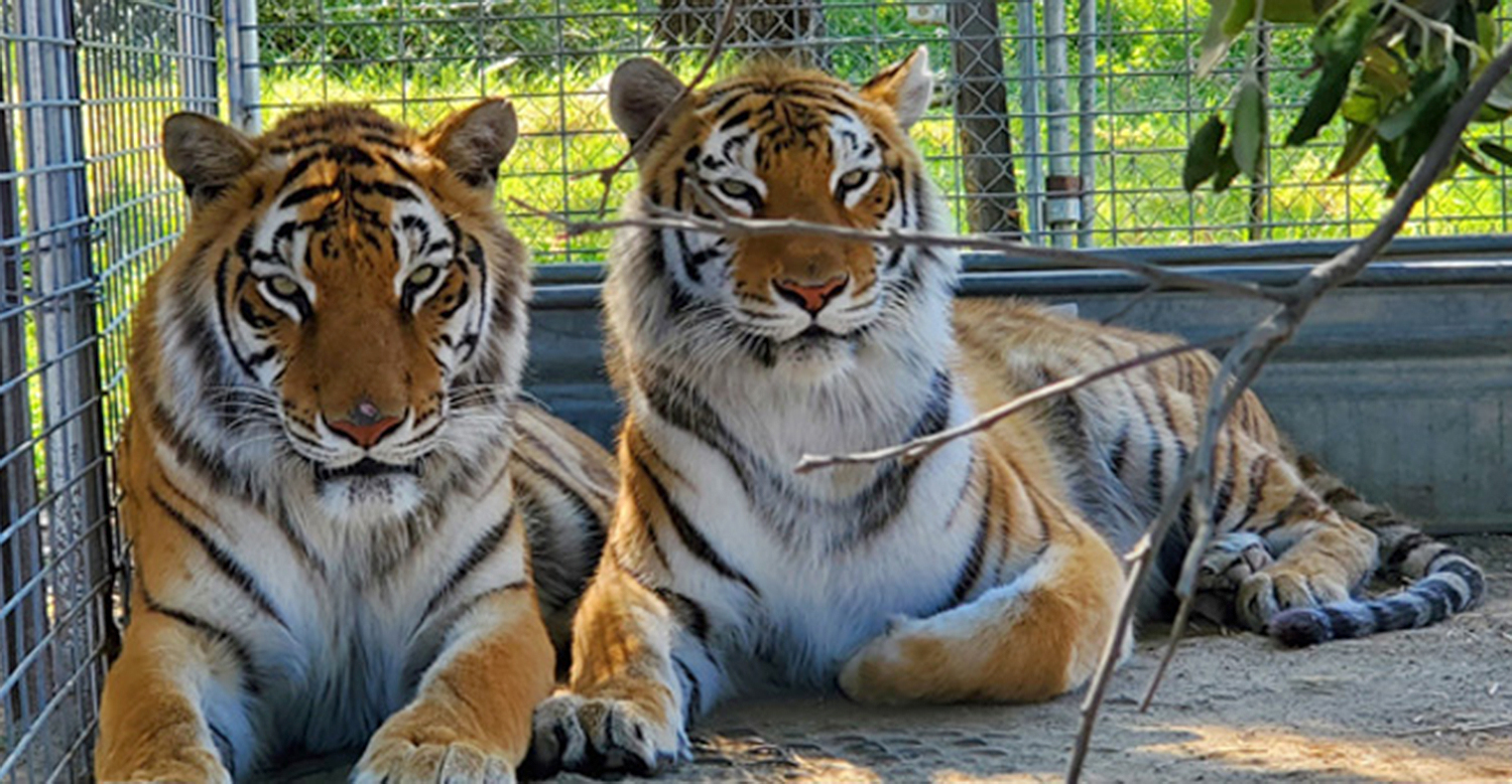 Tiger King rescued tigers