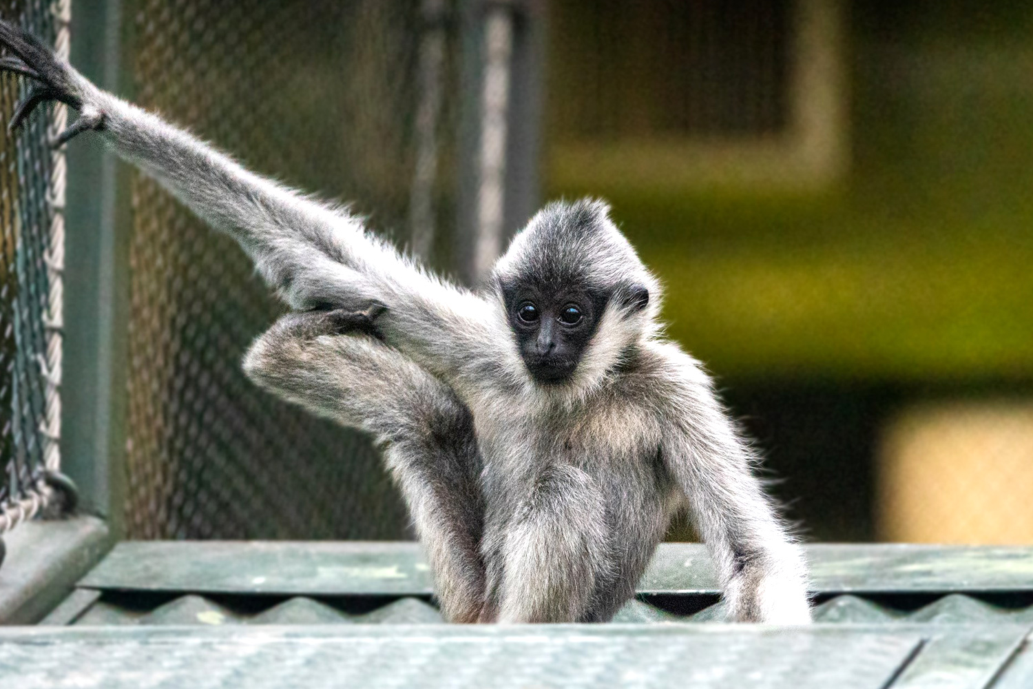 Leilani, a one-and-a-half-year-old white-cheeked gibbon