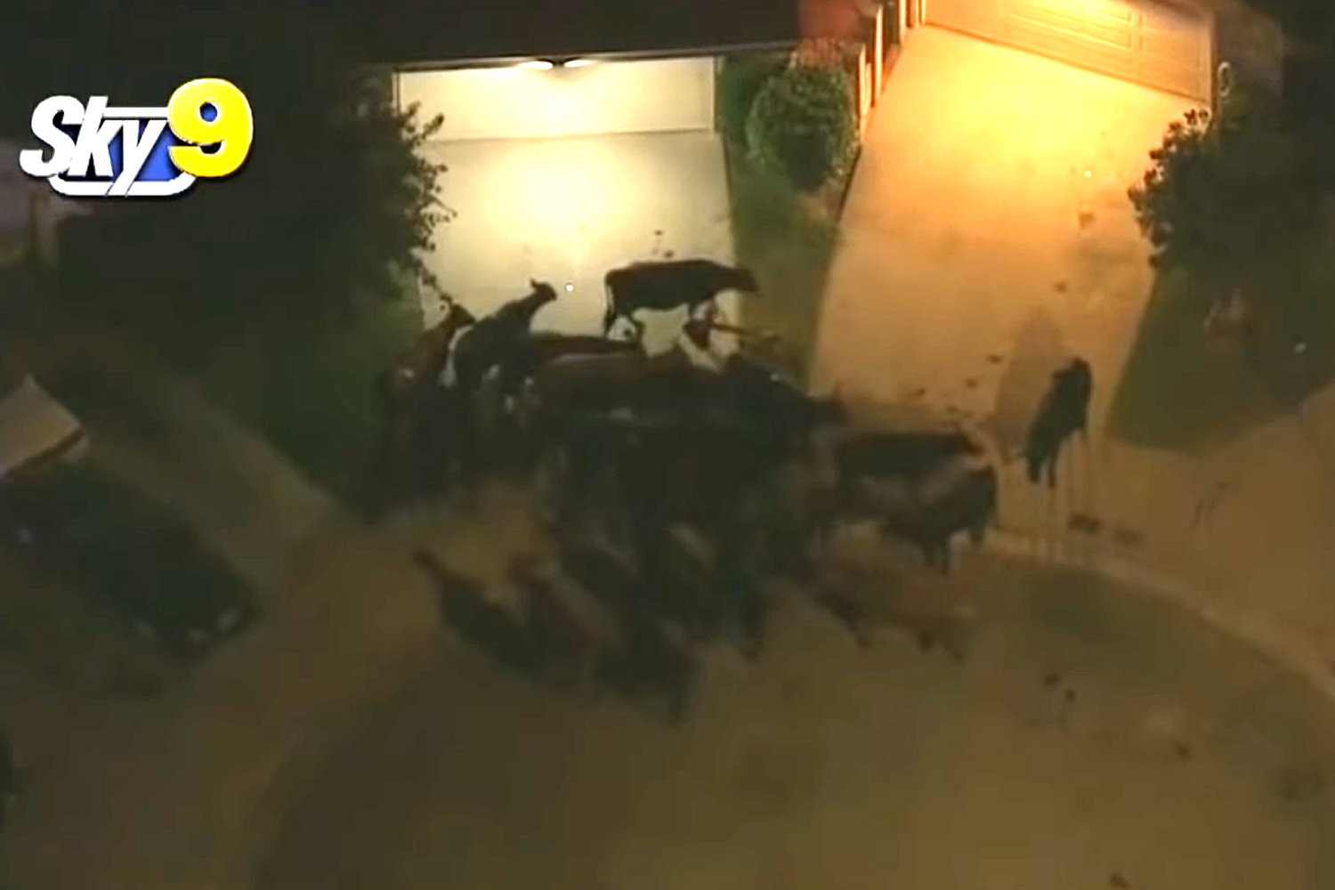 Cows Stampede Through Pico Rivera Neighborhood, At Least 1 Person Injured