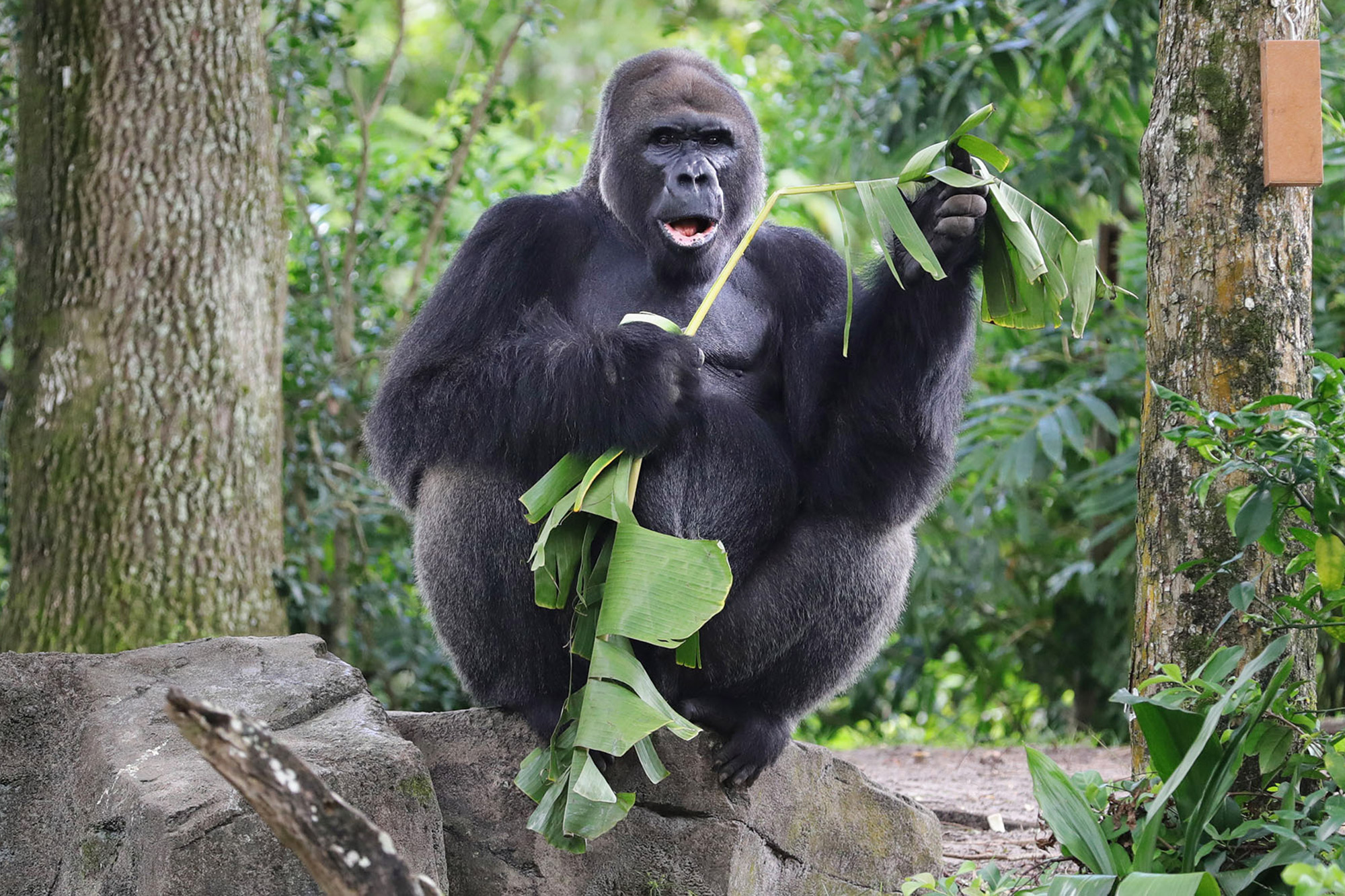 Gino, the patriarch of the western lowland gorilla troop, might be enjoying the solitude while Animal Kingdom is closed, said Mark Penning, Disney Parks' vice president for animals, science and environment