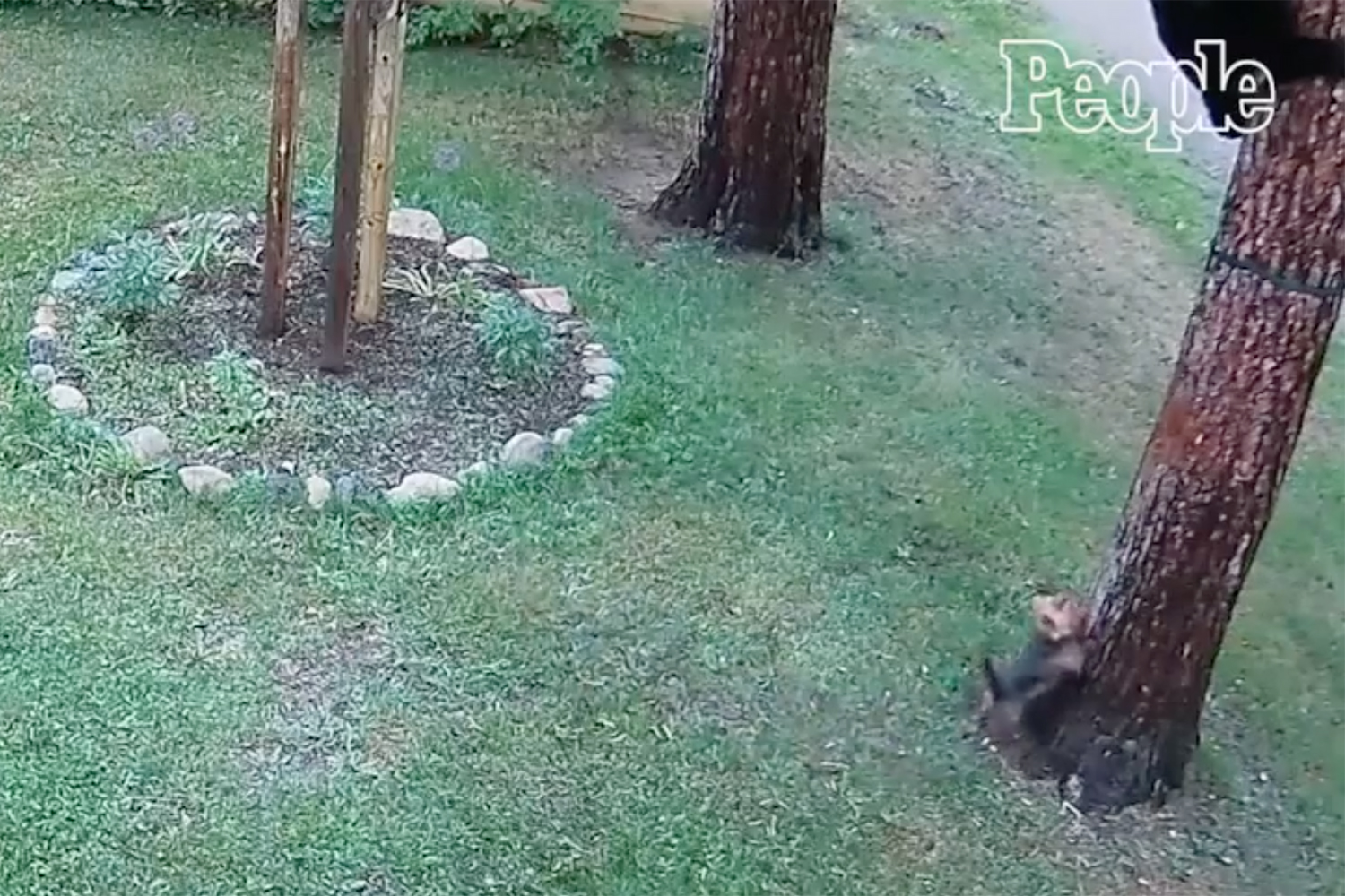 yorkie chases bear up tree