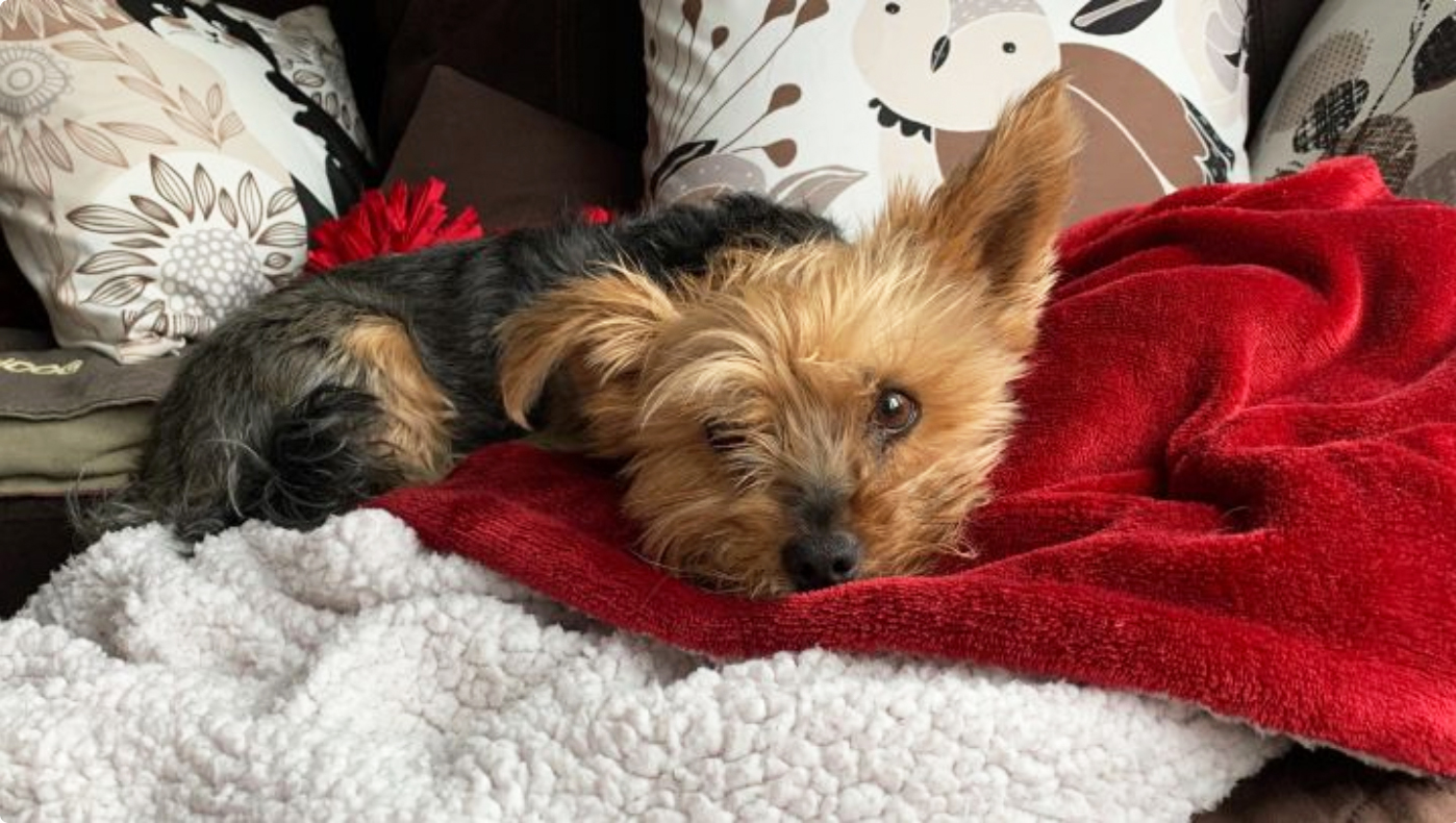 Yorkie saves little girl from coyote