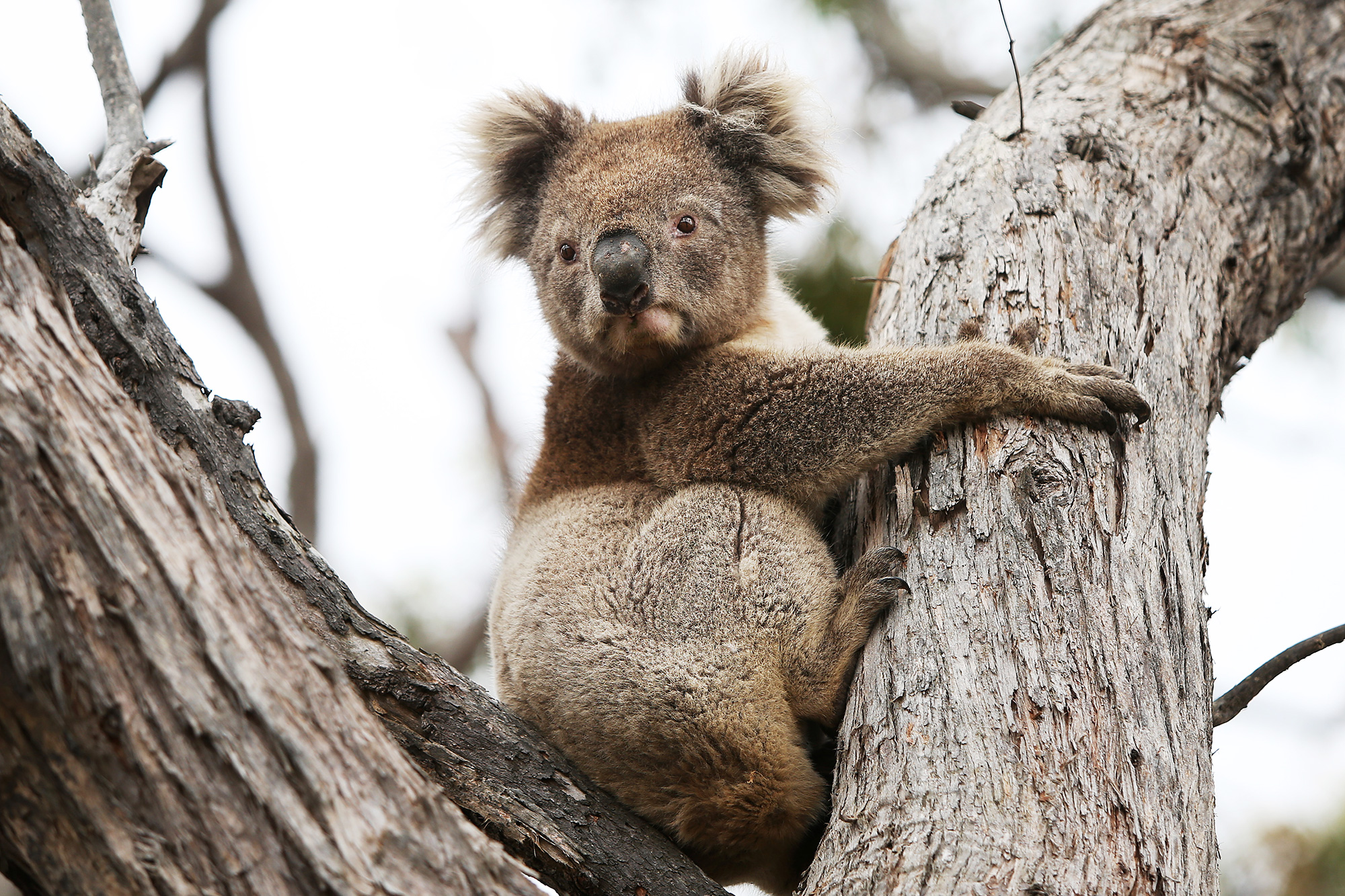 A koala affected by the recent bushfires is released back into native bushland following treatment at the Kangaroo Island Wildlife Park on February 21, 2020 in Parndana, Australia.