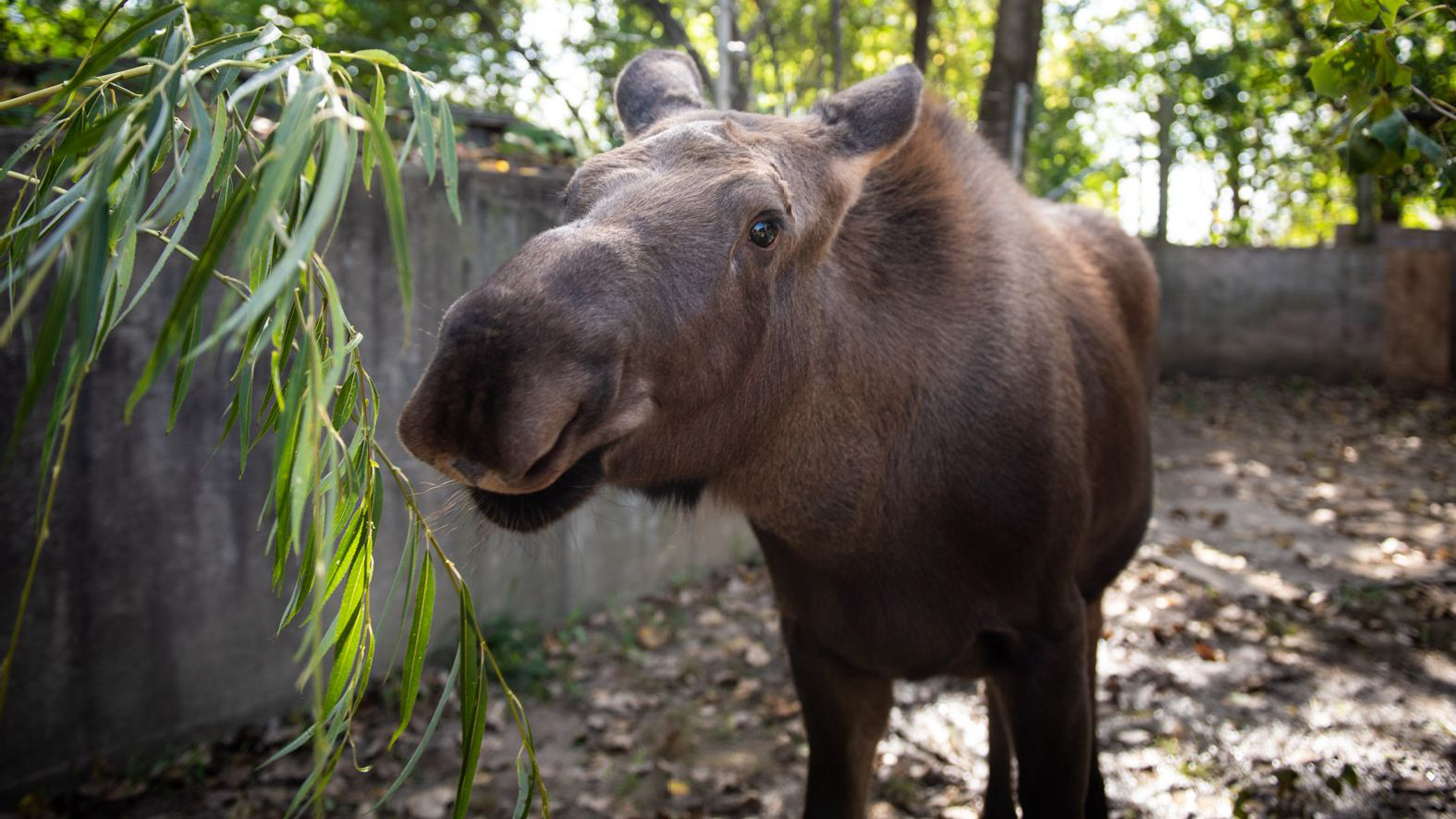 Orphaned Moose Calf Welcomed Into Her New Home at the Columbus Zoo and Aquarium