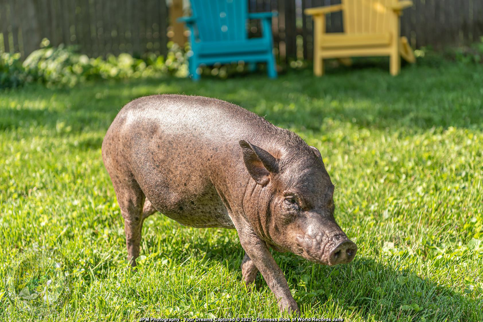 Baby Jane - The Oldest Pig to Ever Be Kept in Captivity Dies at 23