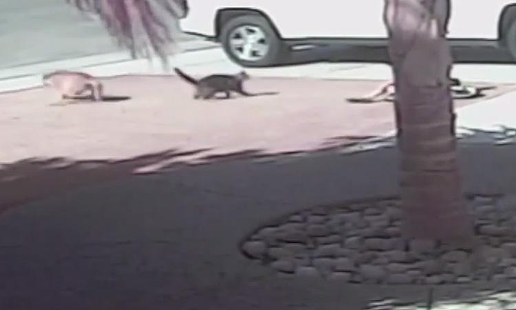 video gato salva niño ataque perro