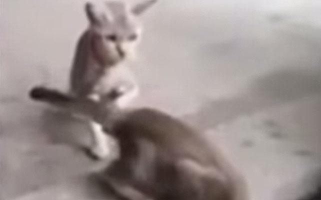 Gato asomao