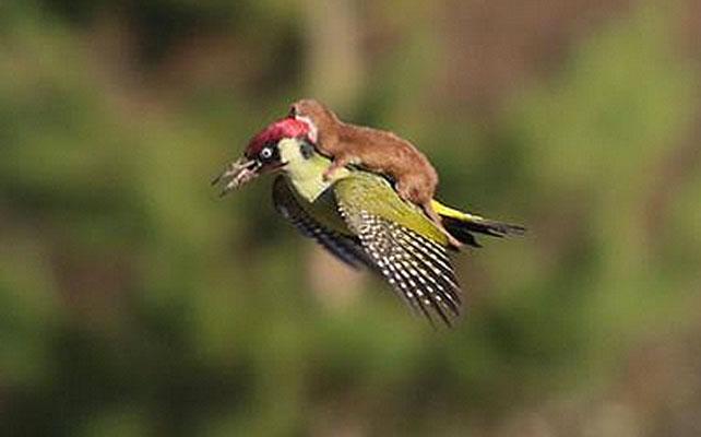 Pájaro carpintero y comadreja para articulo