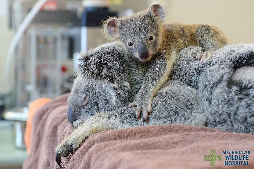 Koala Lizzy e hijito Phantom