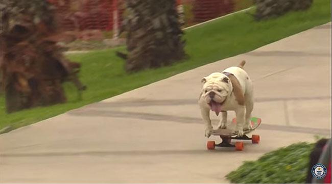 Otto, el perro peruano bate récord subido a un patinete