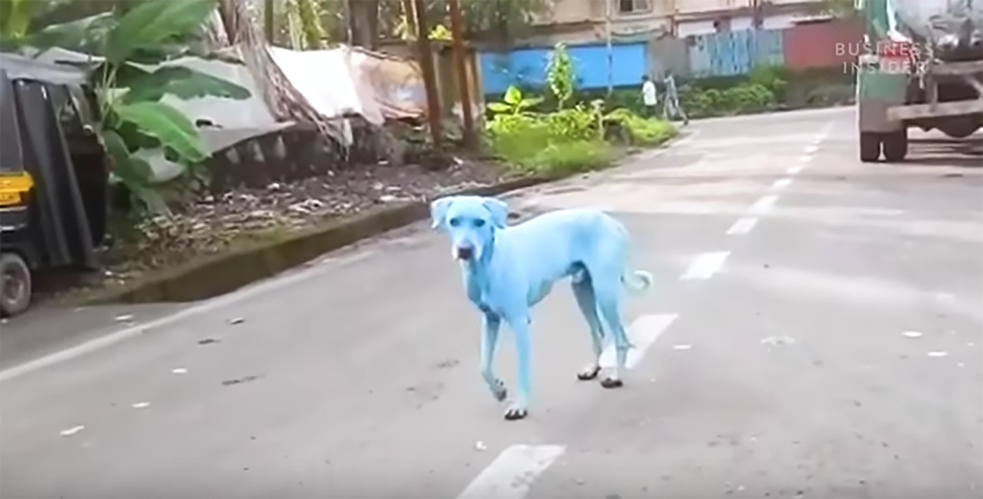perros azules en India