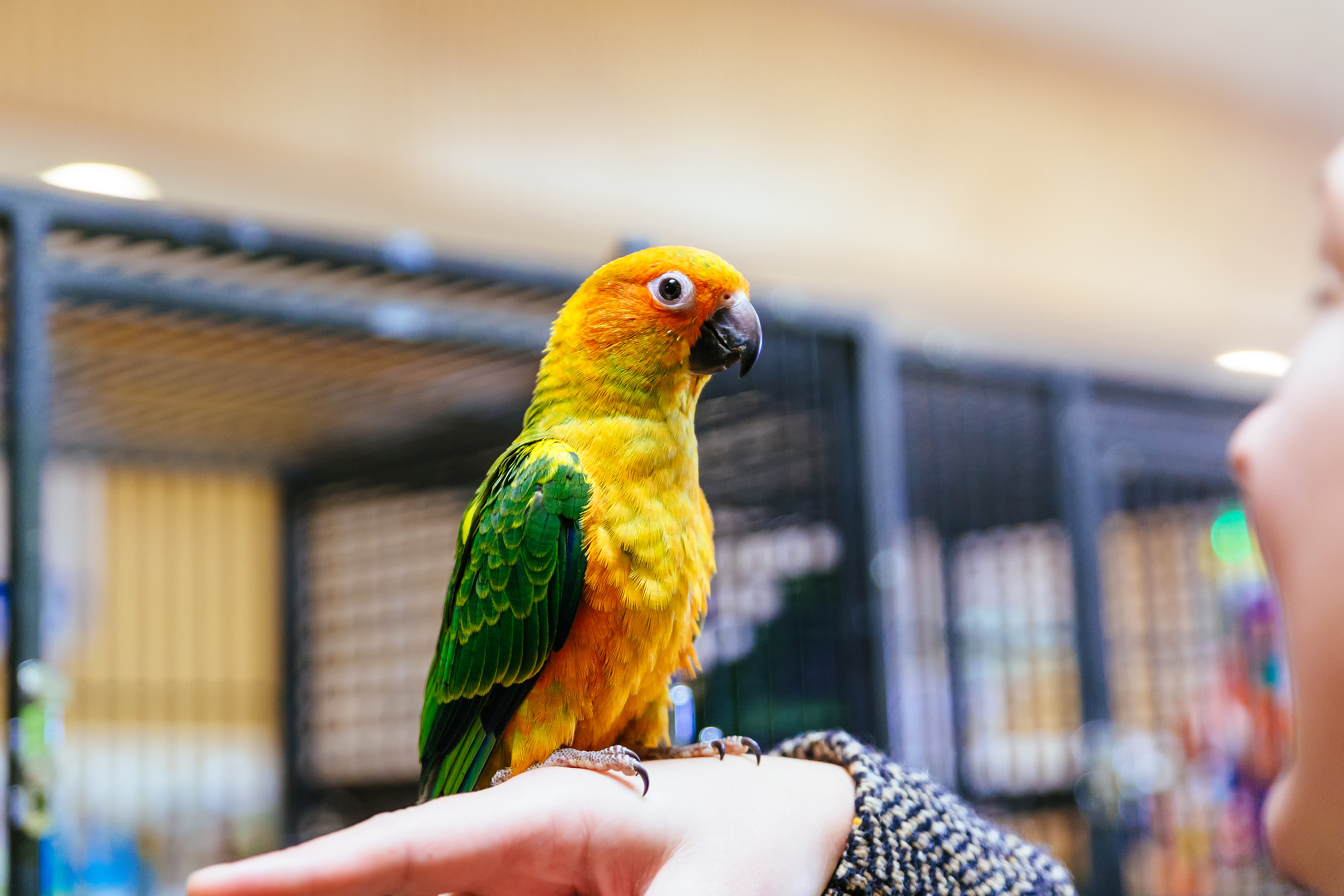 Close-Up Of Sun Conure On Woman Hand