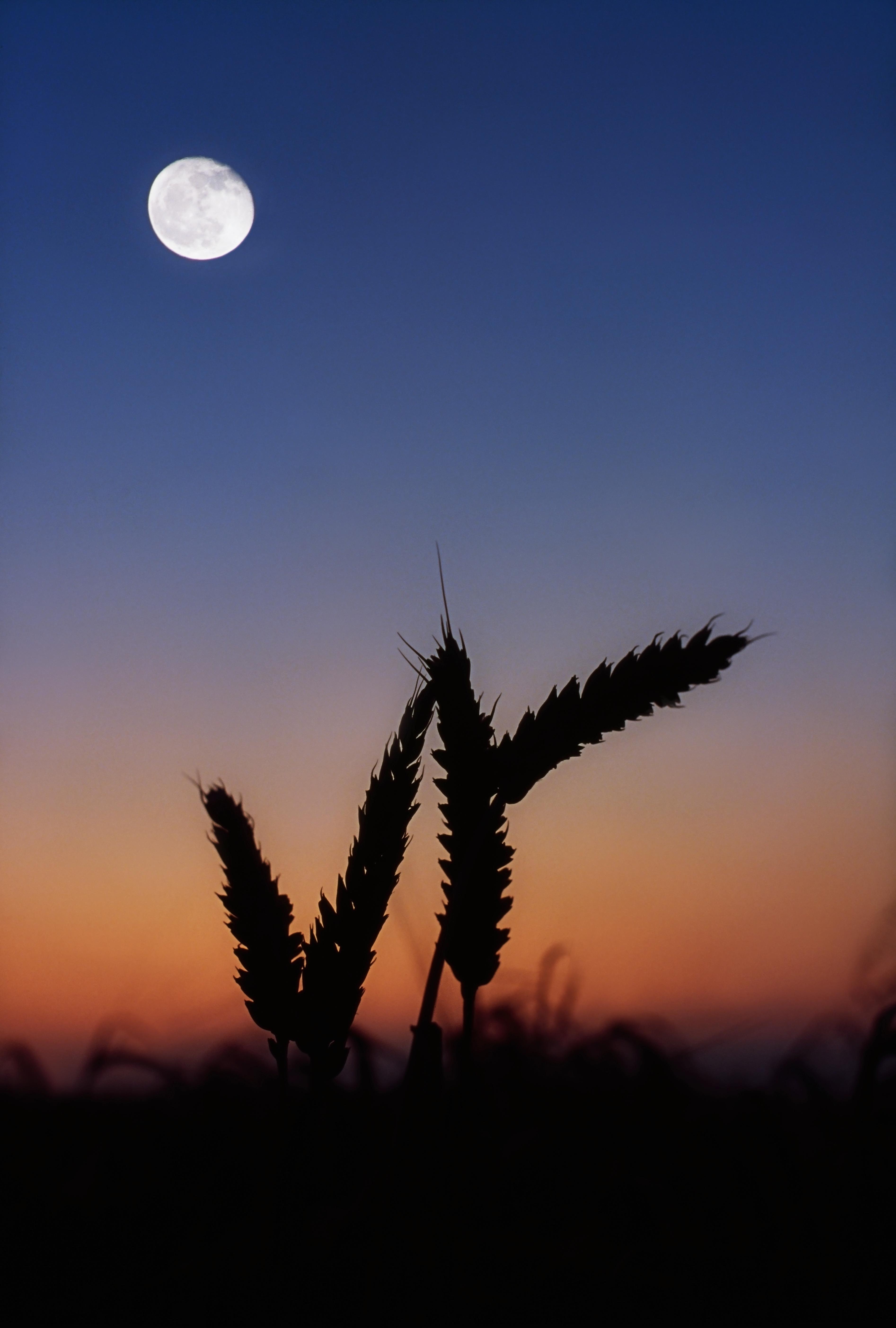 Cosecha, Luna llena