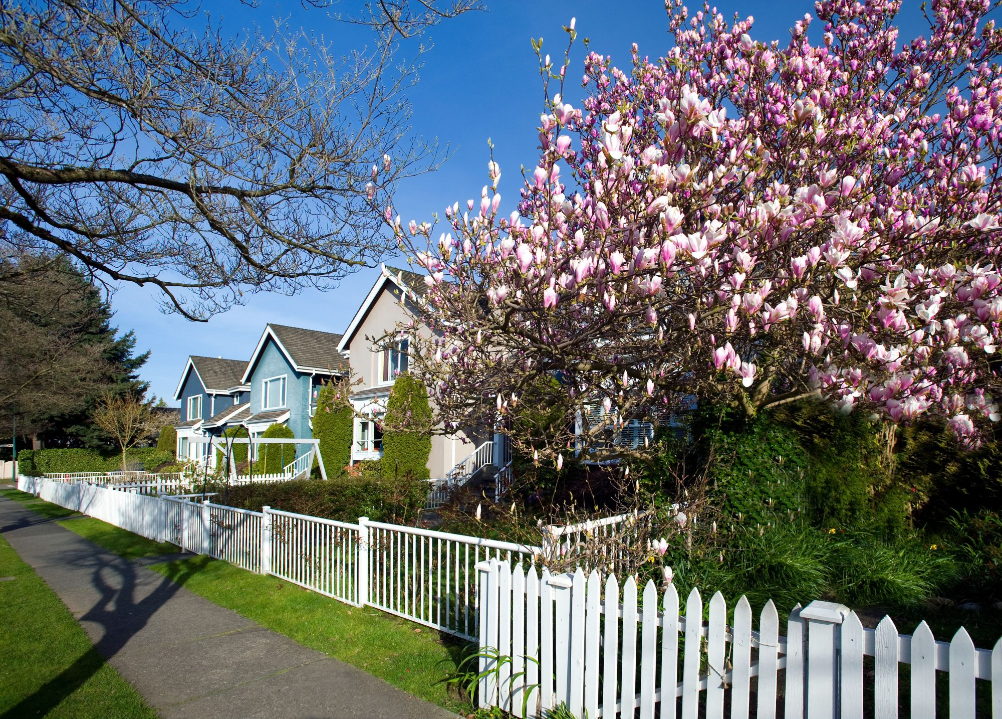 Blooming trees along a Kerrisdale neighborhood street, Vancouver, BC Canada
