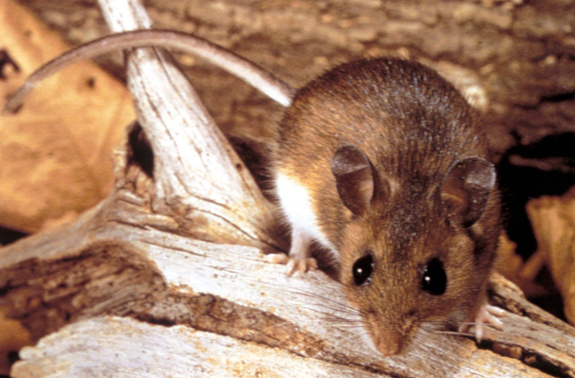 Mouse Hantavirus