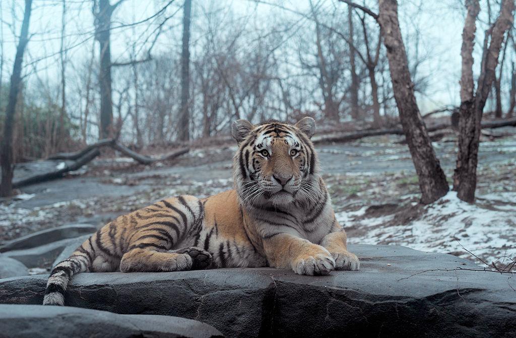 Tigre Bronx Coronavirus