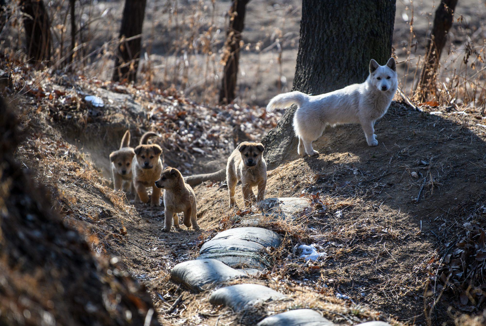perros Corea del norte