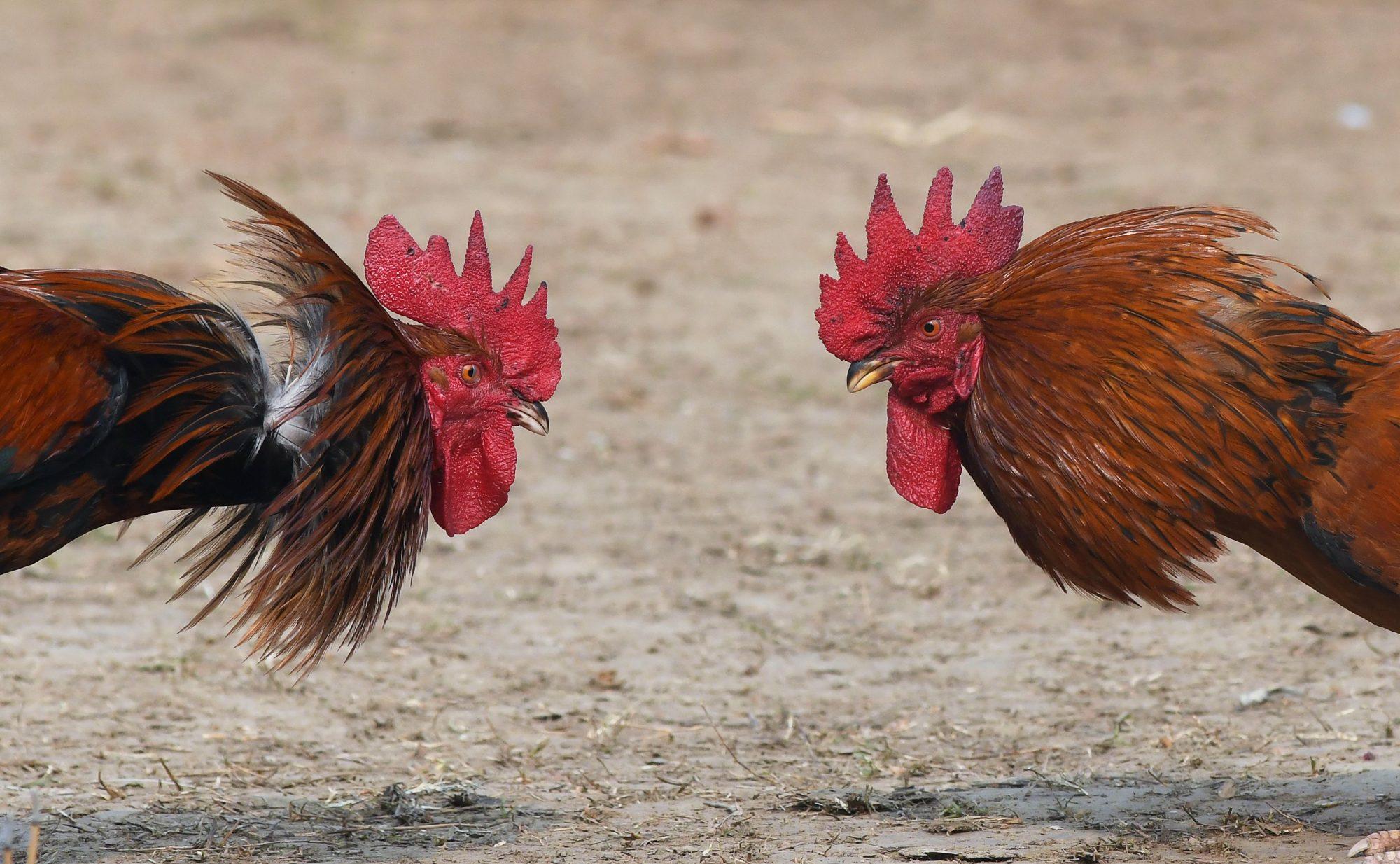 Gallo pelea