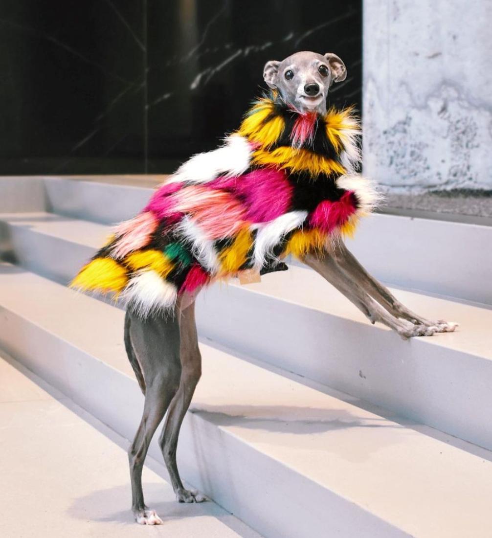 Tika de iggy, perra raza galgo italiano, moda, viral