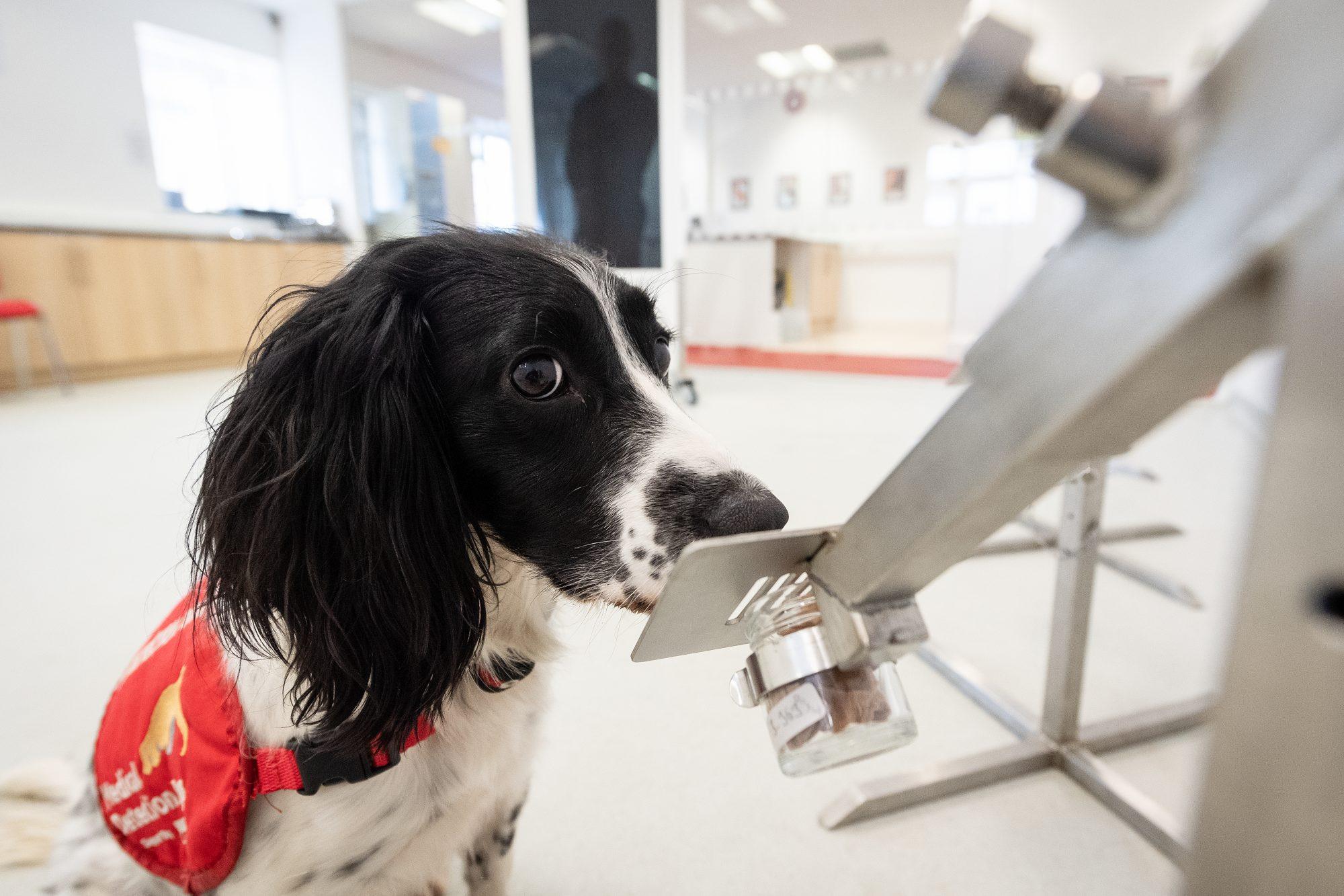 Perros pueden oler la COVID-19