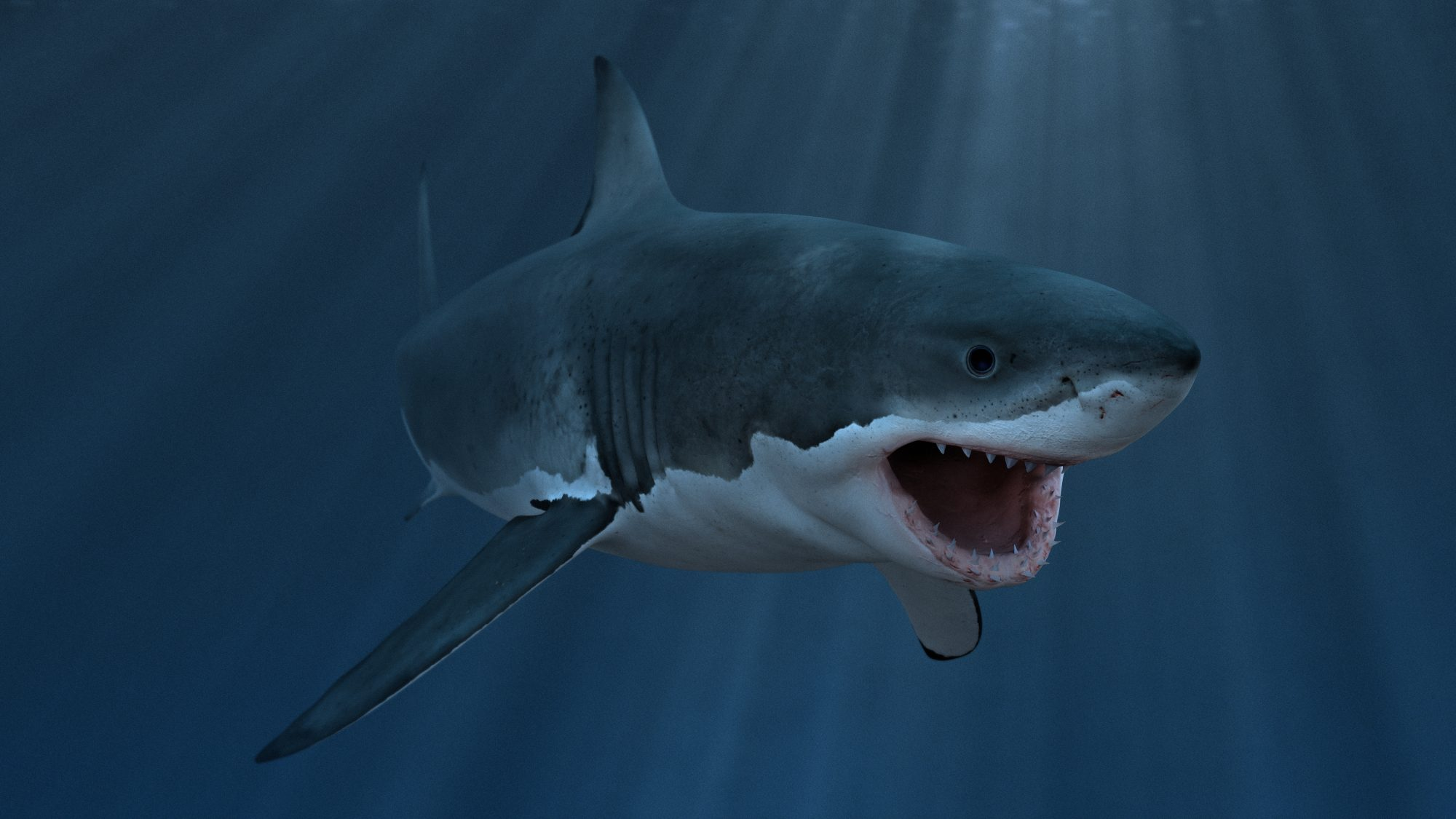 Great white shark underwater diagonal, mouth open