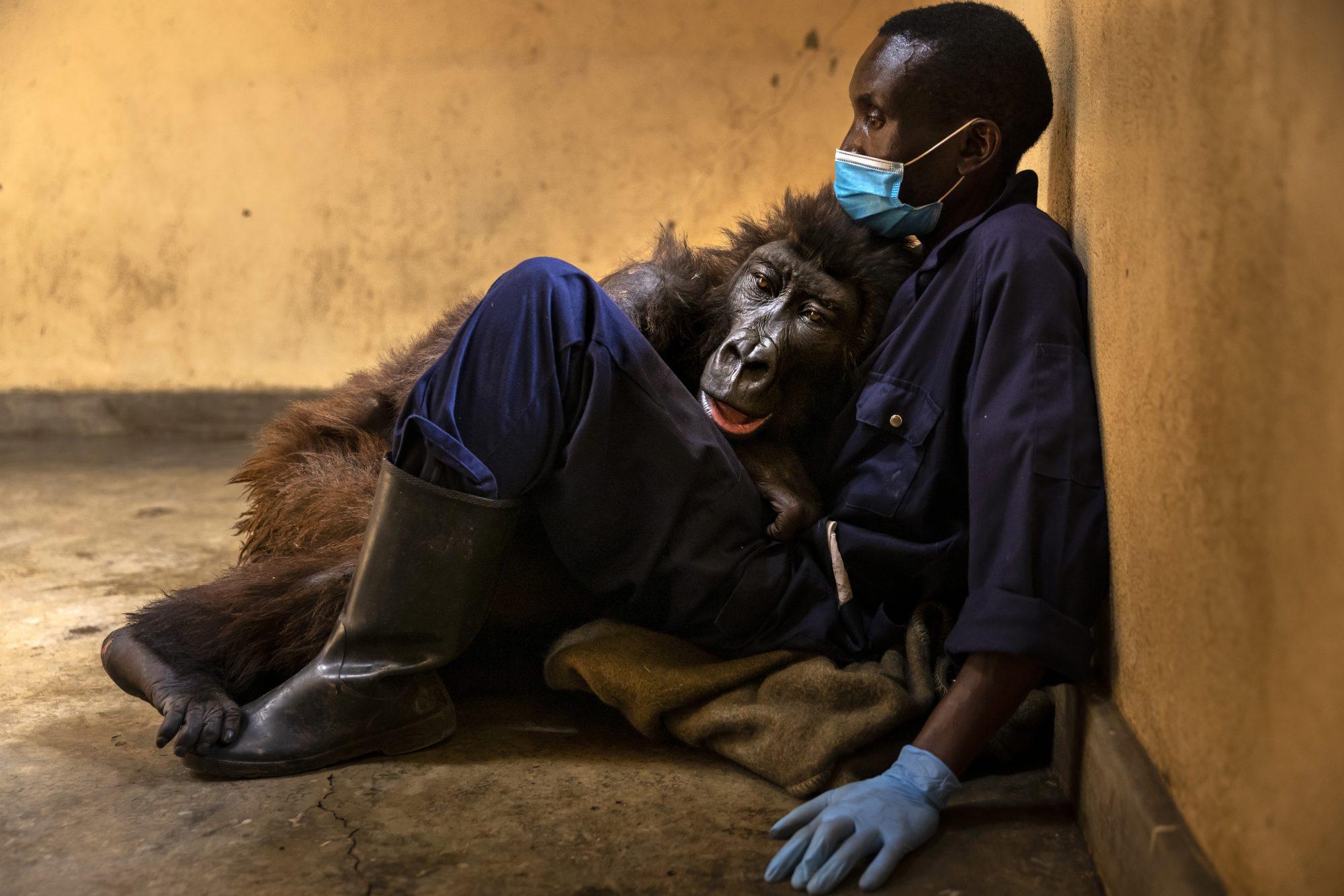 Virunga Announces Death Of Ndakasi, Orphaned Mountain Gorilla