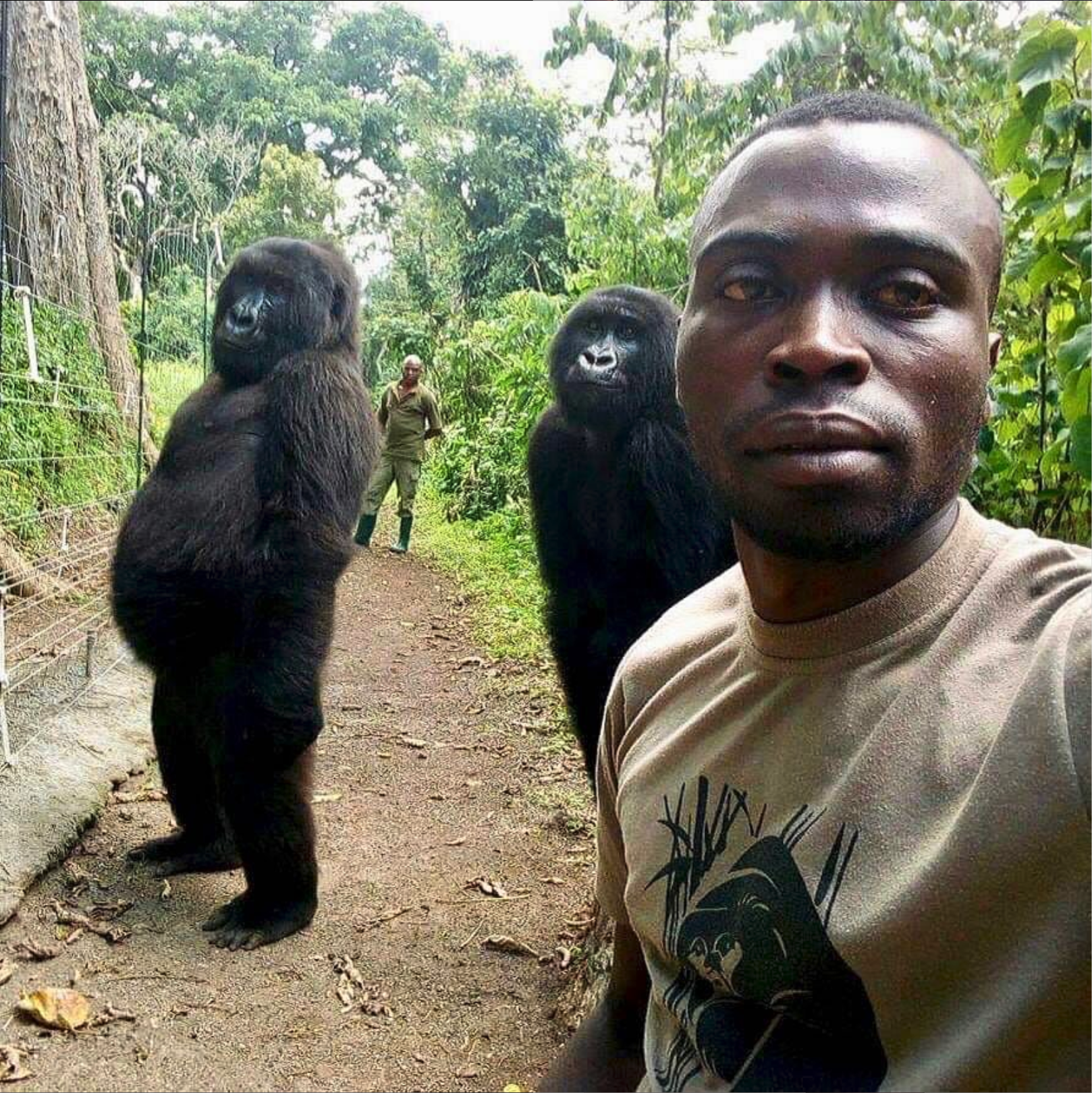 You might have recently seen caretakers Mathieu and Patrick's amazing selfie with female orphaned gorillas Ndakazi and Ndeze inside the Senkwekwe center at Virunga National Park. We've received dozens of messages about the photo. YES, it's real! Those gorilla gals are always acting cheeky so this was the perfect shot of their true personalities! Also, it's no surprise to see these girls on their two feet either—most primates are comfortable walking upright (bipedalism) for short bursts of time. Guys, if you shared our gorilla selfie post, please share our Earth Day posts as well! Conserving Virunga's amazing wildlife is a constant challenge for the Park and our work wouldn't be possible without your support. Matching funds have been pledged on every donation to the Park today, up to a total of $25,000—giving us the opportunity to raise $50,000 for Virunga! Visit virunga.org/donate or click the link in our bio to get involved and keep sharing our posts! Thank you! *We want to emphasize that these gorillas are in an enclosed sanctuary for orphans to which they have lived since infancy. The caretakers at Senkwekwe take great care to not put the health of the gorillas in danger. These are exceptional circumstances in which the photo was taken. It is never permitted to approach a gorilla in the wild.