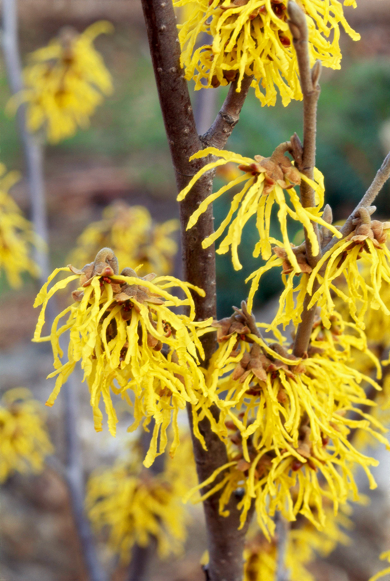 a branch of witch hazel covered with blooms